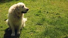 06.06.2019 (tabethashort) Tags: camera new summer dog white cute green love goldenretriever canon spring blonde uk england southwest