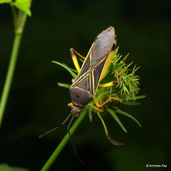 Leaf-footed Bug, Quintius sp.? Coreidae (Ecuador Megadiverso) Tags: andreaskay coreidbug coreidae ecuador hemiptera heteroptera leaffootedbug pentatomomorpha truebug quintius