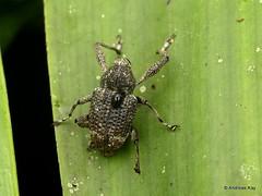 Weevil, Curculionidae (Ecuador Megadiverso) Tags: andreaskay beetle coleoptera curculionidae ecuador weevil
