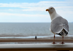 Seagull on lookout (Tony Worrall) Tags: blackpool resort place england english north northwest visit county town area northern location lancs lancashire uk fylde fyldecoast coastal tour country welovethenorth nw update attraction open stream item greatbritain britain british gb capture buy stock sell sale outside outdoors caught photo shoot shot picture captured ilobsterit instragram sea seagull bird wild wildlife cute look perch view