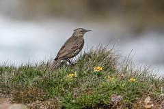 Rock Pipit - Anthus petrosus (Roger Wasley) Tags: rockpipit anthuspetrosus bird orkney scotland