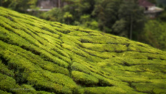 """I am the vine; you are the branches. If you remain in me and I in you, you will bear much fruit; apart from me you can do nothing. (J316) Tags: j316 sony cameronhighlands john15 vine fieldsofgreen tea"