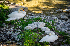 swan family (harakis picture) Tags: swan cygnes bird sony a7