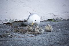 Common gull with hatchlings (Korkeasaaren eläintarha) Tags: korkeasaareneläintarha korkeasaarizoo helsinkizoo korkeasaari högholmen eläimet villieläimet linnut lokit kalalokki