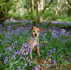 Jake in the Bluebells (cycle.nut66) Tags: jake dog terrier patterdale brindle face prtrait eyes muzzle sit sitting rolleiflex t tessar 35 7535 close up woords woodland spring bluebells chilterns chiltern hills woods analogue film scan
