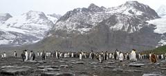 King Penguin colony in front of mountains of the Salvesen Range and Bertrab Glacier (Paul Cottis) Tags: king penguin pinguino rey goldharbour southgeorgia southatlantic beach colony breeding paulcottis 28 january 2019 jan salvesenrange