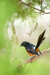 ~ White-rumped Shama | 白腰鵲鴝 ~ (Fu-yi) Tags: 鳥類 taiwan 外來種 bird rearback wildlife animal nature closeup nobody fairweather male オス longtailed summer reproductiveseason plant tree macro field oneanimal 1animal songbird louder birdwatching isolated single beautiful wildlifephotography outdoors 長尾四喜 sony