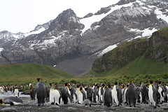 Ground view of King Penguin colony with young at Gold Harbour (Paul Cottis) Tags: king penguin pinguino rey goldharbour southgeorgia southatlantic beach colony breeding paulcottis 28 january 2019 jan salvesenrange