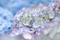 purple & blue (snowshoe hare*(catching up)) Tags: dsc1084 hydrangea flowers hydrageagarden 紫陽花