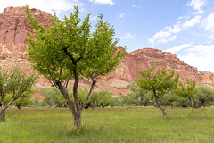 Fruita Fruit Trees in Capitol Reef National Park (aaronrhawkins) Tags: fruita capitolreef national park utah fruit trees orchard cliffs southwest valley canyon irrigation row farm agriculture settlement cliff vacation destination aaronhawkins