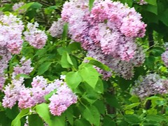 """""""Photography is not about cameras, gadgets and gizmos. Photography is about photographers. A camera didn't make a great picture any more than a typewriter wrote a great novel.""""  -  Peter Adams (Trinimusic2008 -blessings) Tags: flowers toronto ontario canada nature june spring to torontoraptors 2019 trinimusic2008 judymeikle wethenorth raptors nbafinals"""