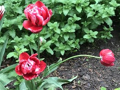 """""""The camera is an instrument that teaches people how to see without a camera.""""  -  Dorothea Lange (Trinimusic2008 -blessings) Tags: trinimusic2008 judymeikle nature spring june 2019 flowers wethenorth torontoraptors toronto to ontario canada nbafinals raptors"""