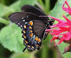 black spicebush swallowtail (Sam0hsong) Tags: spring northcarolina