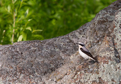 Steinskvett, Oenanthe, Norway (KronaPhoto) Tags: 2019 vår natur steinskvett bird fugl nature norway spring birdsphotography oenanthe