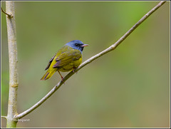 Mourning warbler (FotoRequest) Tags: nature animals wildlife birds