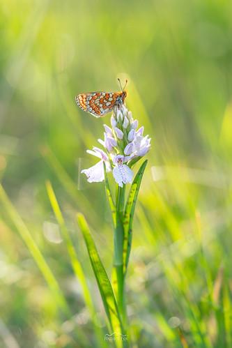 Marsh Fritillary | Euphydryas aurinia