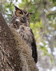 Female Great Horned Owl (Mark Schocken) Tags: strixvaria greathornedowl owl schockenphotography markschocken