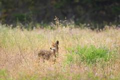 Coyote (Wildphotography - Barry Rowan) Tags: california coyote summer nature animal santabarbara mammal wildlife unitedstatesofamerica goleta canislatrans