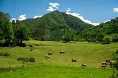 Le long des chemins (Ariège) (PierreG_09) Tags: seix ariège pyrénées pirineos couserans occitanie midipyrénées hameau bléchin bleychein vache cos