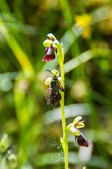 Le long des chemins (Ariège) (PierreG_09) Tags: seix ariège pyrénées pirineos couserans occitanie midipyrénées flor flore fleur plante orchidéesauvage orchidacée orchid orquidea orchidée ophrys ophrysmouche ophrysinsectifera