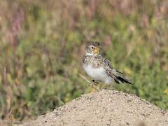 Juvenile Horned Lark (Chub G's M&D) Tags: westdesert avian utah aves hornedlark birds eremophilaalpestris tooelecounty birding birdphotography juvenile