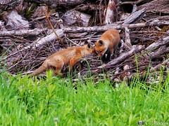190604-72 Renardeaux (clamato39) Tags: renard redfox fox animal wild sauvage nature outside forest forêt provincedequébec québec canada olympus