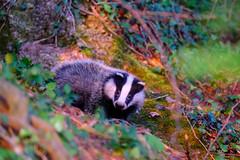 My friend the little badger (Wildlife) (ej - light spectrum) Tags: dachs badger wildlife nature natur fujifilm xt2 switzerland suisse svizzera schweiz animal tier 2019 may wildtiere wald forest jungtier
