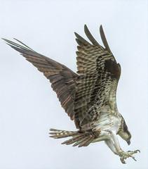 Osprey Diving For Fish (stevebfotos) Tags: select osprey raptor fishing delaware bay lewes canary creek great marsh predator wetlans