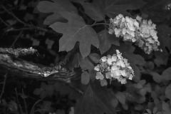 late spring floral forms, large leaves, branch, Asheville, NC, Nikon D3300, mamiya sekor 45mm f-2.8, 6.6.19 (steve aimone) Tags: blossoms floralforms leaves branch asheville northcarolina nikond3300 mamiyasekkor45mmf28 mamiyaprime primelens blackandwhite monochrome monochromatic landscape
