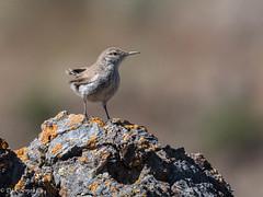 Rock Wren (Salpinctes obsoletus) (Chub G's M&D) Tags: westdesert avian rockwren aves tooelecounty birds salpinctesobsoletus wren birding birdphotography utah