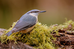 DSC0516  Nuthatch... (Jeff Lack Wildlife&Nature) Tags: nuthatch nuthatches birds bird avian animal animals wildlife wildbirds wetlands woodlands woodland woods wildlifephotography jefflackphotography trees farmland forest forests forestry hedgerows parklands countryside copse nature