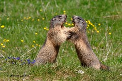 Tieni giù le mani!!... (silvano fabris) Tags: wildlifephotography canon natura nature animals animali marmotta marmot