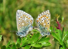 Adonis blues mating (brianwaller703) Tags: adonis blues mating