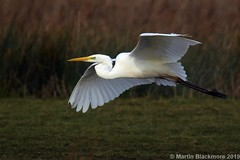 Great White Egret in flight 130829 (wildlifetog) Tags: uk wild white bird birds inflight wings martin britishisles wildlife great isleofwight egret brading blackmore marshes mbiow rspb