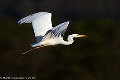 Great White Egret in flight I37911 (wildlifetog) Tags: great wild wildlife wings white egret blackmore britishisles bird birds british brading mbiow martin marshes isleofwight inflight uk rspb