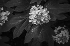 late spring blossoms, large leaves, Asheville, NC, Nikon D3300, mamiya sekor 80mm f-2.8, 6.6.19 (steve aimone) Tags: blossoms flowers floralforms leaves asheville northcarolina nikond3300 mamiyasekkor45mmf28 mamiyaprime primelens monochrome monochromatic blackandwhite macro