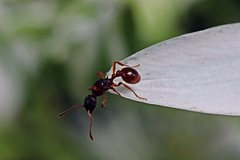 Ant (JaaniicB) Tags: canon 77d eos 50mm nifty fifty f18 macro extension tubes tube flower ant ants very close closeup