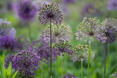 Allium (jillyspoon) Tags: allium bulbs purple harlowcarrgardens flowers dof depthoffield garden spring springgarden colour 85mm rhs therhs horticultural nature naturetextures sooc harrogate sony sonya7iii sonyalpha sony85mm northyorkshire