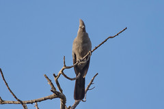 Серый бананоед, Corythaixoides concolor bechuanae, Grey Go-away Bird (Oleg Nomad) Tags: серыйбананоед corythaixoidesconcolorbechuanae greygoawaybird птицы африка замбия bird aves africa zambia