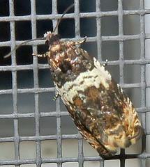 Banded Olethreutes, Olethreutes fasciatana, Washington Crossing (Seth Ausubel) Tags: tortricidae olethreutinae moth olethreutini
