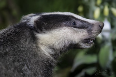 Badger close-up (Mr F1) Tags: wild badger cub woodland somerset uk europe closeup close near 600mm detail feeding johnfanning