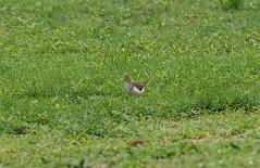 Перевозчик, Actitis hypoleucos, Common Sandpiper (Oleg Nomad) Tags: перевозчик actitishypoleucos commonsandpiper птицы африка замбия bird aves africa zambia