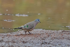 Бронзовопятнистая лесная горлица, Turtur chalcospilos, Emerald-spotted Wood Dove (Oleg Nomad) Tags: бронзовопятнистаялеснаягорлица turturchalcospilos emeraldspottedwooddove птицы африка замбия bird aves africa zambia