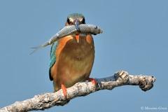 Un bel boccone !! (Massimo Greco *) Tags: martinpescatore
