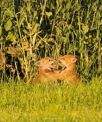 fox family (fabian.huesser) Tags: animal animals wildanimals wildtiere wildlife fox tiere nature natural spring aargau