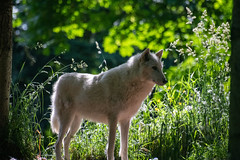 Morning Glow (zenseas) Tags: morning spring washington canislupus greywolf wpz phinneyridge wolf seattle woodlandparkzoo