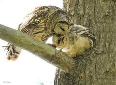 LOVE (bearbear leggo) Tags: barred owls baby owlet owl ontario outdoors photography photographer bird ontatrio kingston canon mark2 karenleggo