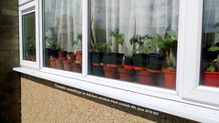 Tomato seedlings in kitchen window from outside 6th June 2019 003 (D@viD_2.011) Tags: tomato seedlings kitchen window from outside 6th june 2019