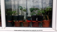 Tomato seedling in kitchen window from outside 6th June 2019 001 (D@viD_2.011) Tags: tomato seedlings kitchen window from outside 6th june 2019