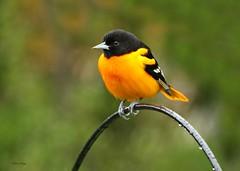 Baltimore Oriole (bearbear leggo) Tags: baltimore oriole male bird photography photographer kingston karenleggo ontario outdoors backyard orange canon mark2